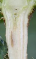 Niedobór boru - pierwsze symptomy niedoboru boru obserwujemy w postaci zbrązowienia tkanek wewnątrz korzenia