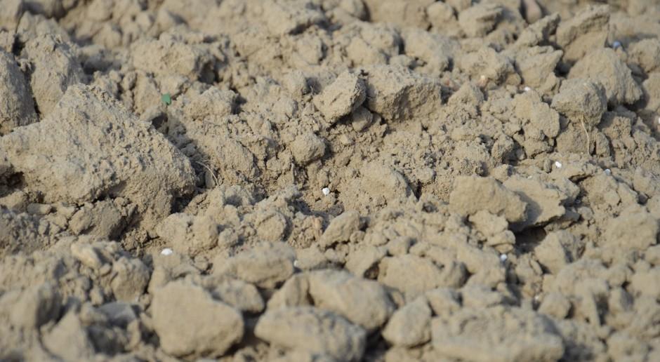 Jesienne nawożenia azotem pszenicy