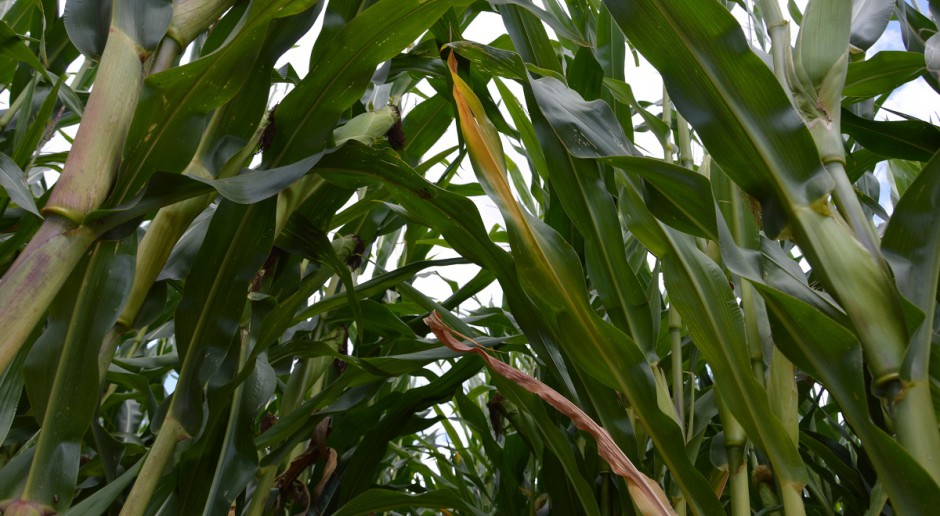 Pora sprawdzić szkodliwość omacnicy prosowianki w kukurydzy