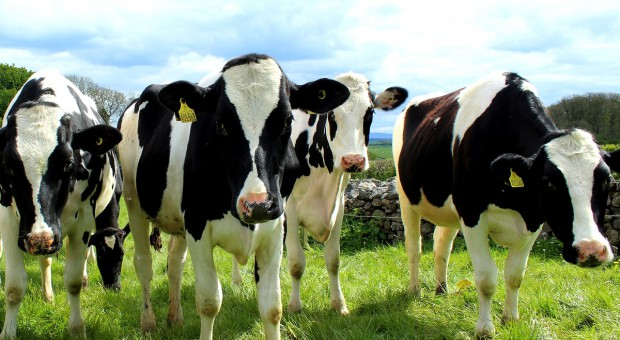 Danone wysyła 5000 krów na Syberię
