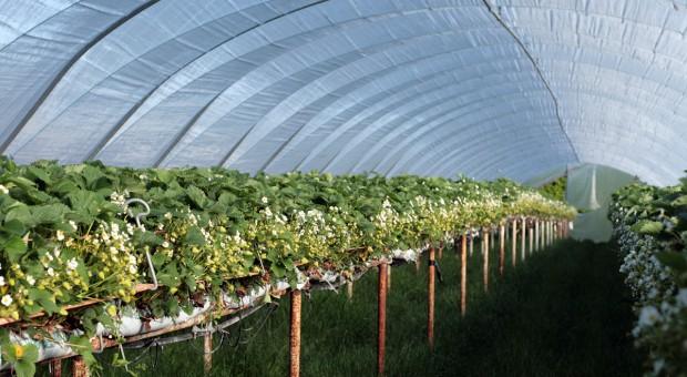 Regalis Plus 10 WG także w uprawie truskawki