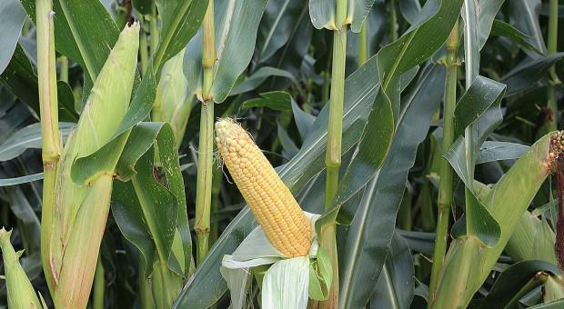 Paszę z kukurydzy dostosuj do potrzeb – cały artykuł