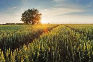 Lipec/sierpień: Silny spadek cen pszenicy