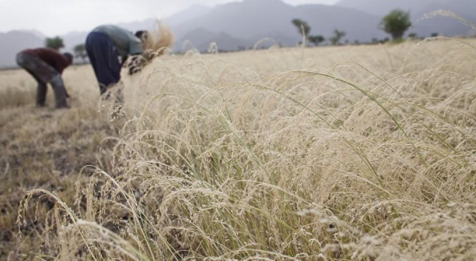 Czy rolnicy sięgną po zapomniane rośliny?