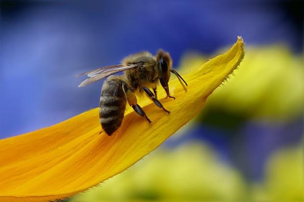 Goulson: Bez pszczół i trzmieli zostaniemy o chlebie i owsiance