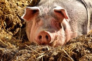 Lubelskie: Ognisko ASF w stadzie świń i 8 przypadków choroby u dzików