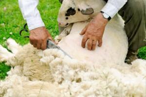 Kto się odważy ostrzyc owcę?