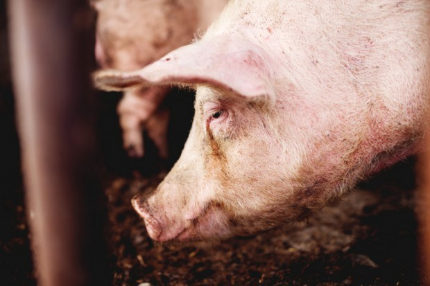 UE: Stabilizacja cen świń rzeźnych, a na południu spadek