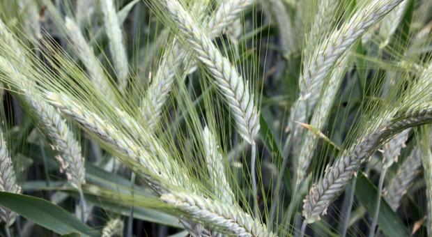 Plonowanie pszenżyta ozimego w 2017 r.