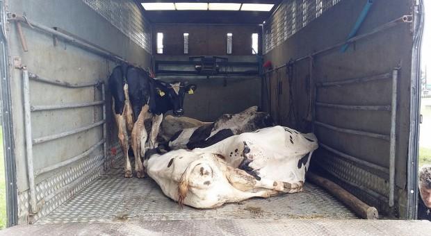 GITD: Krowy przewożone w skandalicznych warunkach