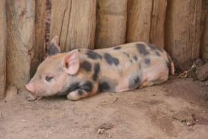 Tylko do wtorku wnioski o pomoc za sprzedane w lipcu i sierpniu świnie