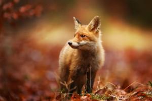 W Śląskiem lisy zostaną zaszczepione przeciw wściekliźnie