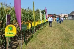 Smolicka kolekcja odmian kukurydzy