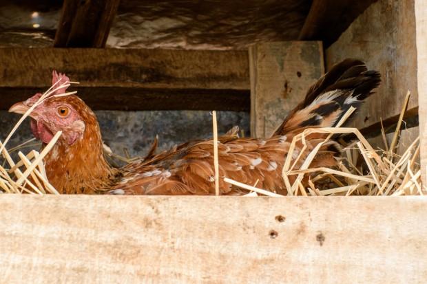 Ekspert: Zmiana sposobu walki z pasożytami ptaków wykluczy skażenie jaj