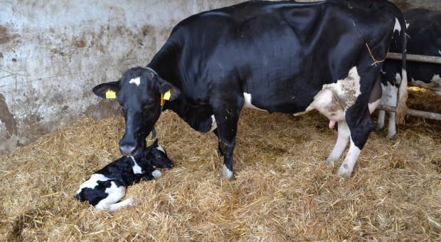 Jak wskaźniki rozrodu przekładają się na mleczność krów?