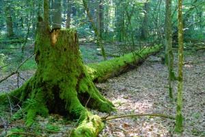 Szyszko: Celem wycinki drzew jest przywrócenie zdrowia Puszczy Białowieskiej