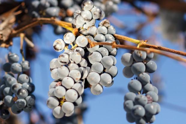 Zapowiada się słabe winobranie; zbiory mniejsze nawet o połowę