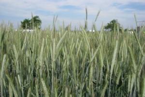 Żyto – odmiany polecane na rok 2017