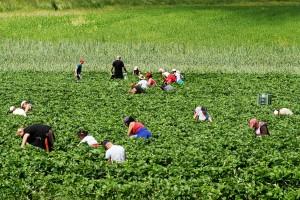 Będzie ustawa o opodatkowaniu pracowników sezonowych