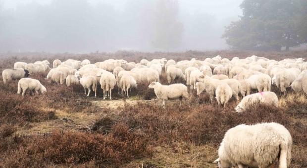 IERiGŻ-PIB: Podaż baraniny w 2017 r. w UE będzie mniejsza