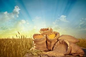 Materiał siewny zbóż w podobnej cenie jak rok temu, droższe tylko pszenżyto