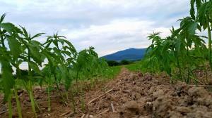 Rośliny rosły w równym tempie na całym obszarze plantacji.