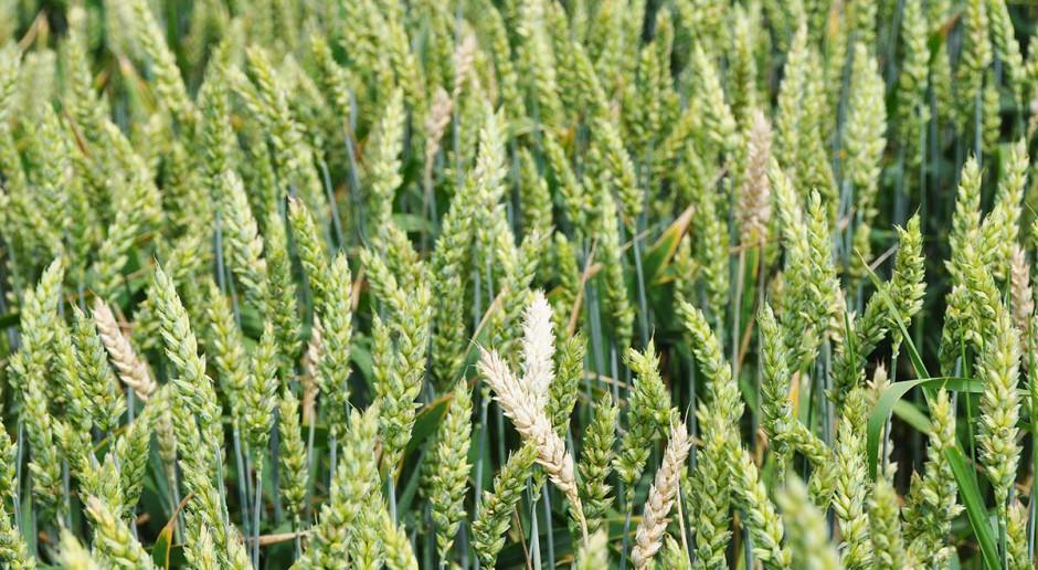 Podsuszki atakują pszenicę już jesienią