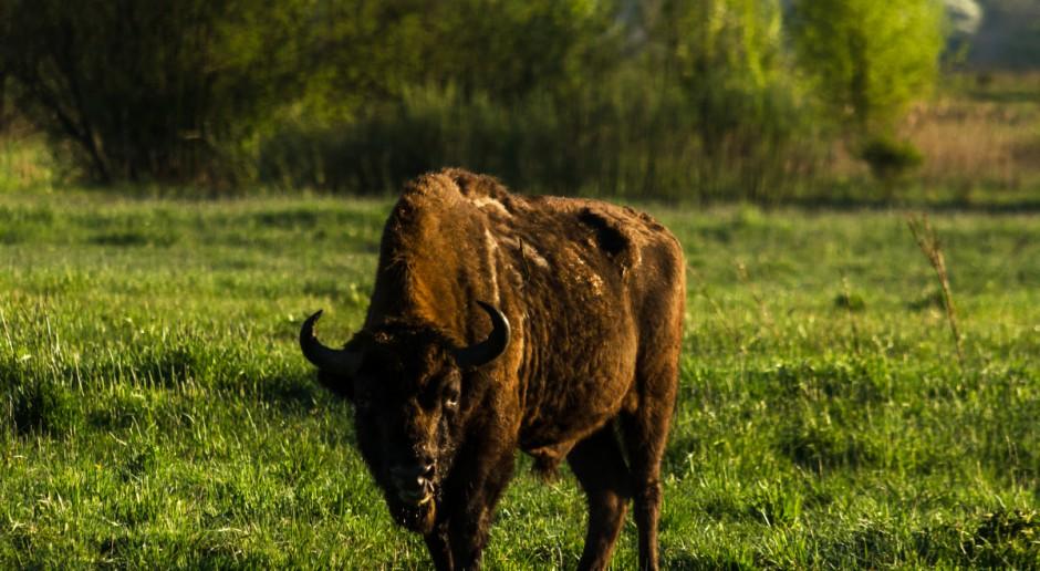 Podlaskie: Rolnicy chcą wydzierżawić swoje łąki na potrzeby żubrów