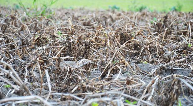 Zapobieganie porażeniu bulw zarazą ziemniaka