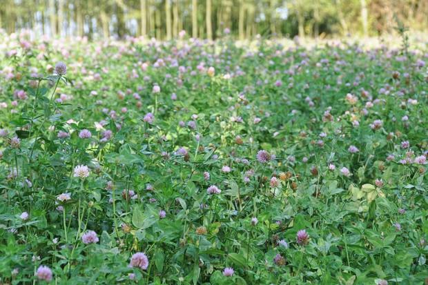 Nowe odmiany koniczyny i lucerny