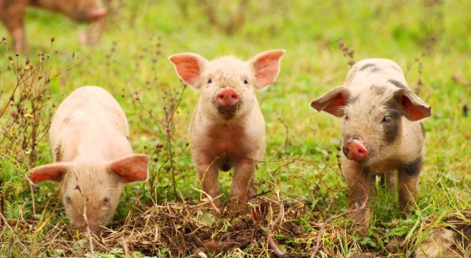 Jaka pomoc za wstrzymanie produkcji w gospodarstwach do 50 świń?