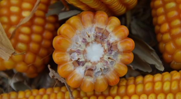 Ile kosztuje zakiszanie ziarna kukurydzy w rękawie?