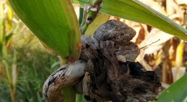 Na niektórych plantacjach licznie występuje głownia kukurydzy