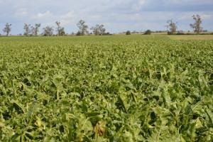 Najbliższa przyszłość uprawy buraka cukrowego