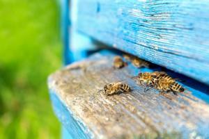 Podkarpackie: Bardzo słaby sezon pszczelarzy; 6-7 kg miodu z ula