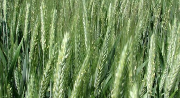 Zimotrwałość odmian pszenżyta