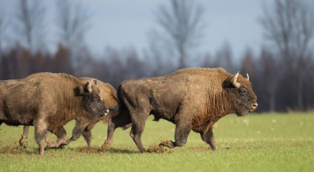 GDOŚ wydał zgodę na odstrzał do 40 żubrów w puszczach Knyszyńskiej i Boreckiej