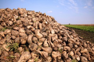 Od 1 października rynek bez kwot cukrowych. Co to oznacza dla plantatorów buraka?