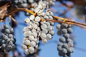 Podkarpackie: Ptaki wymusiły szybsze winobranie