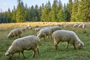 Dobiega końca tegoroczny wypas owiec na górskich pastwiskach