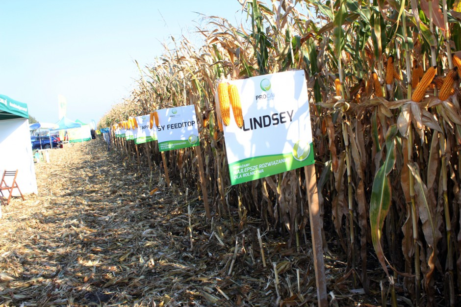 Skrzelewska impreza to także niespotykana gdzie indziej możliwość, by w jednym miejscu porównać bardzo szeroki wachlarz dostępnych na naszym rynku odmian kukurydzy; Fot. Anna Kobus
