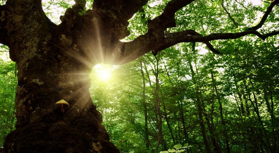 Ekolodzy poszukują drzew, których historia łączy ludzi i przyrodę