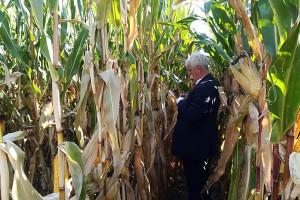 Choroby kukurydzy nie są w tym sezonie dużym problemem