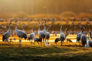 Dzikie ptaki niszczą plony, ale odszkodowań nie będzie