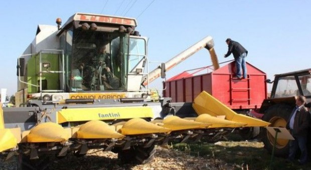 Ziarno kukurydzy jest mokre – cena spada