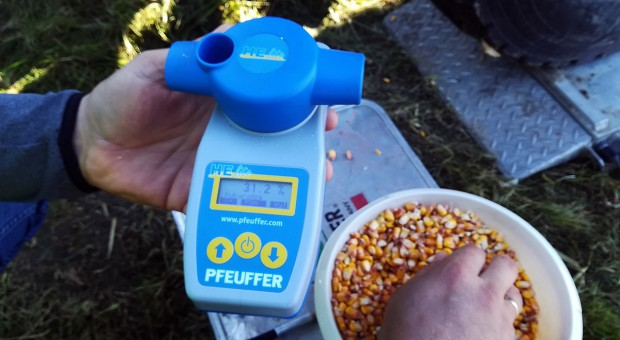 Ziarno kukurydzy ma ponad 30 proc. wilgotności – kiedy przystąpić do zbioru
