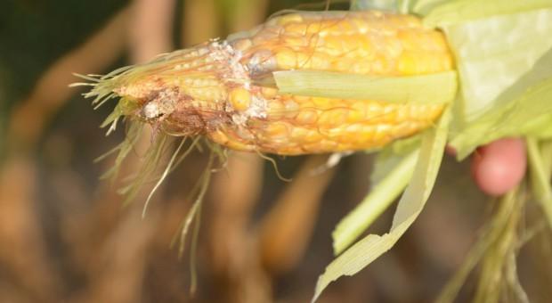 Choroby fuzaryjne w kukurydzy – uwaga na mikotoksyny