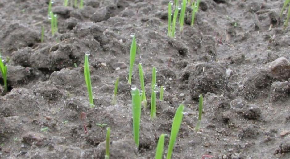 Zimotrwałe odmiany pszenicy na opóźnione siewy