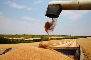 W regionach z ASF mogą być niższe ceny skupu zbóż