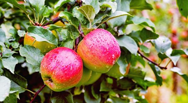 """Lubelscy sadownicy chcą promować """"Jabłko Lubelskie"""""""